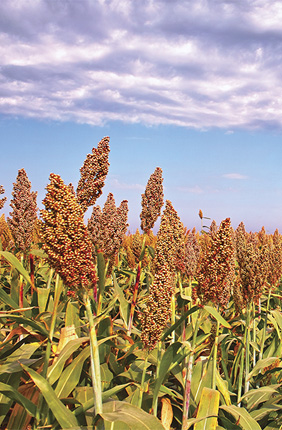 U.S. Department of Energy grant will fund sorghum research at Illinois