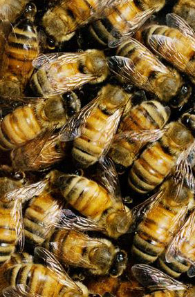 Fungicides are among the top contaminants of honey bee hives and can interfere with the bees' ability to metabolize other pesticides.