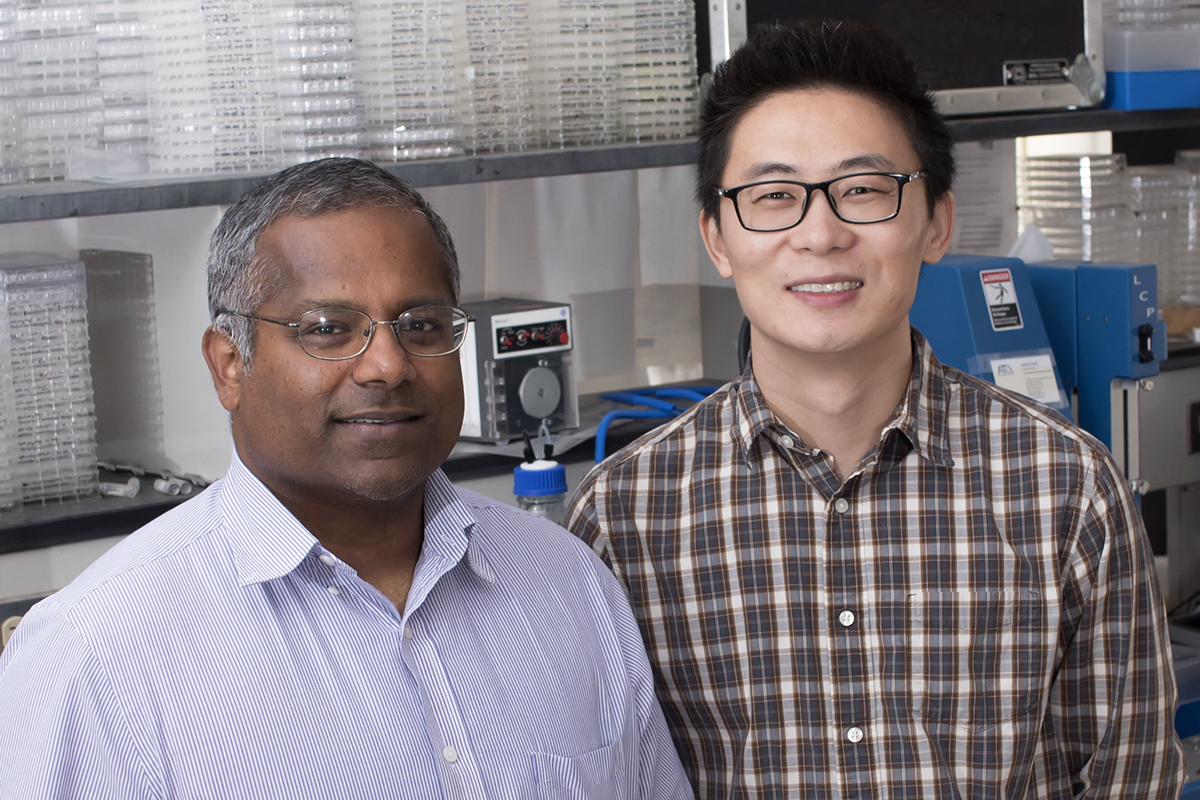 U. of I. biochemistry professor Satish Nair, left, postdoctoral researcher Shi-Hui Dong and their colleagues discovered a mechanism by which bacteria signal one another to become more virulent. The researchers hope to manipulate this pathway to treat disease.